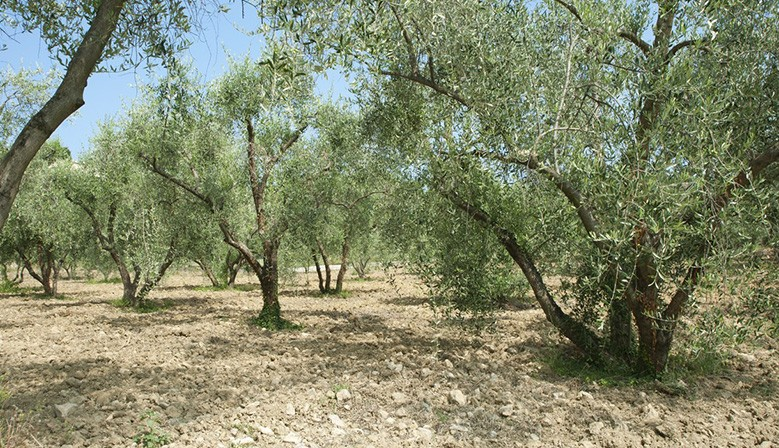 Olive Oil 4