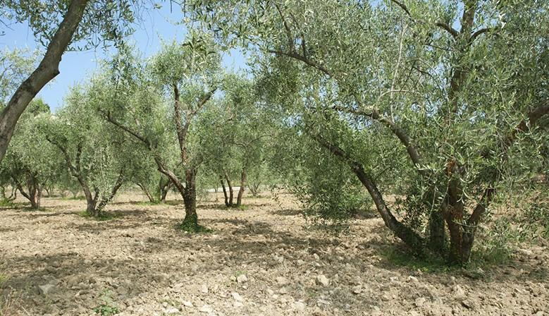 Huile d'olives 4
